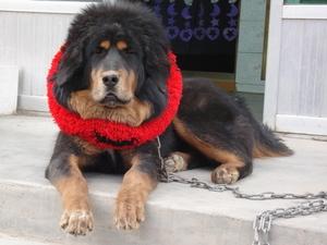 Tibetan_mastiff_2
